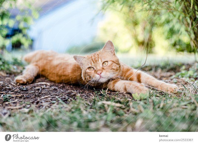 Kater streckt sich Katze Natur schön Erholung Tier ruhig Lifestyle Garten orange Zufriedenheit Freizeit & Hobby hell Erde liegen Lebensfreude authentisch