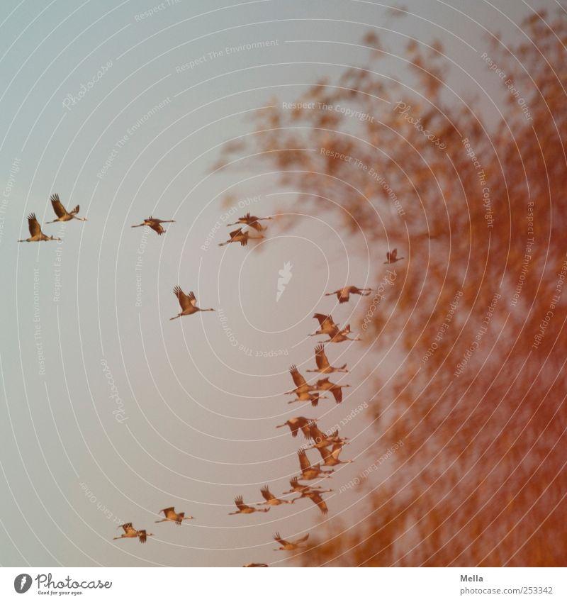[Linum 1.0] Abendflug Umwelt Natur Tier Luft Baum Vogel Kranich Zugvogel Schwarm Bewegung fliegen frei Zusammensein natürlich Freiheit Farbfoto Außenaufnahme