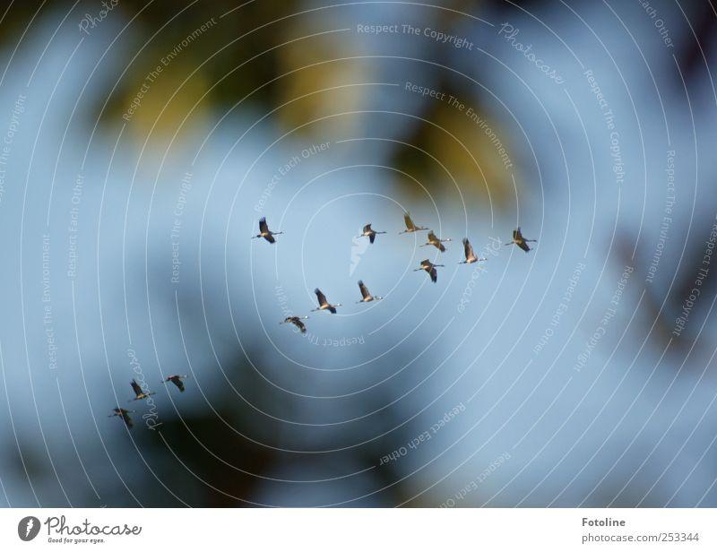 [Linum 1.0] Sie fliegen! Umwelt Natur Pflanze Tier Himmel Wolkenloser Himmel Wildtier Vogel Flügel hell natürlich blau grün Kranich Farbfoto mehrfarbig