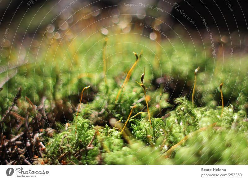 Leben im Moos Natur Pflanze grün Sommer außergewöhnlich braun Wachstum Kraft authentisch Erfolg ästhetisch Schönes Wetter Abenteuer Sauberkeit berühren