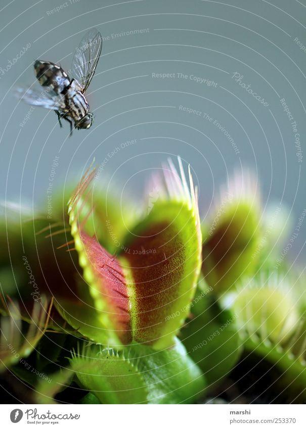 dem Tod ins Auge schauen grün Pflanze Tier Angst fliegen Fliege gefährlich Flügel Ziel Spitze Todesangst Appetit & Hunger Botanik stachelig Maul