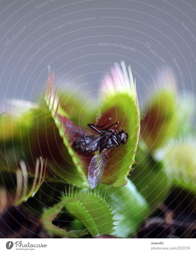 Opfer Pflanze Tier Totes Tier Fliege 1 grün erstarren Todesangst fatal gefährlich gefangen bedrohlich Venusfliegenfalle Botanik Fleischfresser Stachel Flügel