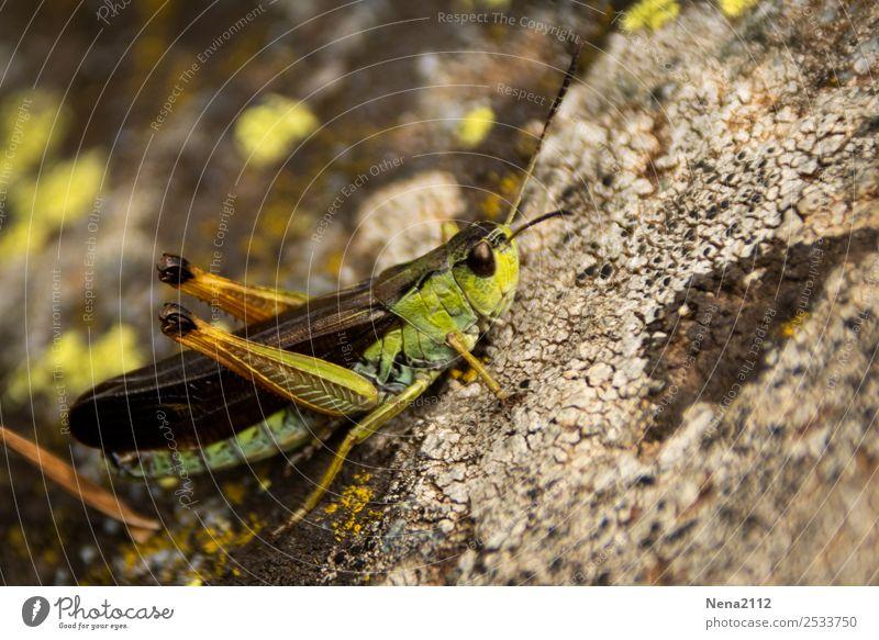 Steinhüpfer Tier grün Insekt Heuschrecke Sommer klein hüpfen springen Farbfoto Außenaufnahme Nahaufnahme Detailaufnahme Makroaufnahme Menschenleer Tag Licht