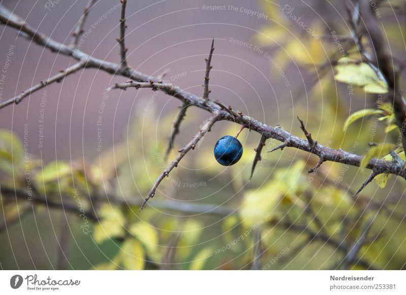 Schwarzdorn Frucht Natur Pflanze Herbst Sträucher Wildpflanze bedrohlich natürlich blau grün violett Farbe Stimmung Schlehen wehrhaft Beeren Steinfrüchte sauer