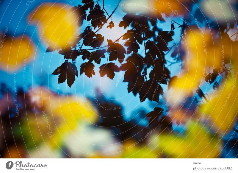 Nur geträumt Herbst Blatt leuchten außergewöhnlich schön blau gelb Herbstlaub Ahornblatt Herbstbeginn herbstlich Herbstfärbung Wasseroberfläche Farbfoto
