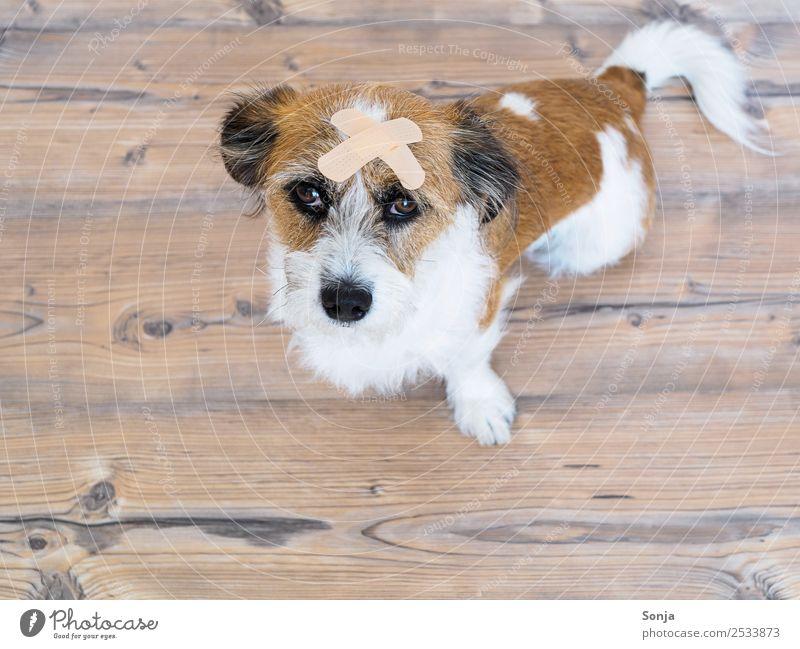 Hund, Haustier, Tier, Erste Hilfe Fell 1 Heftpflaster sitzen Krankheit braun Traurigkeit Schmerz Gedeckte Farben Innenaufnahme Textfreiraum links