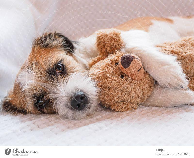 Hund, Haustier, Tier Tiergesicht Fell 1 Teddybär weiße Decke genießen Liebe liegen schlafen Umarmen Glück schön kuschlig niedlich weich braun Gefühle
