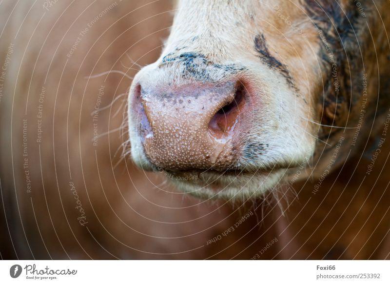 Flotzmaul- Chamansuelz 2011 weiß Tier schwarz gelb Leben Lebensmittel braun natürlich authentisch Kuh Nutztier Tierliebe Milcherzeugnisse