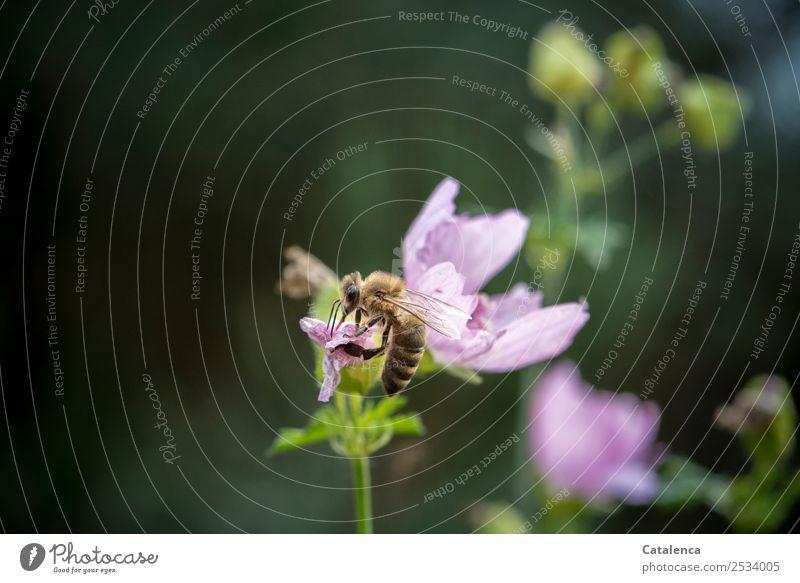 Restbestände Natur Pflanze Tier Sommer Blume Blüte Malvengewächse Garten Nutztier Biene Honigbiene 1 Blühend Duft sitzen schön braun grün violett rosa