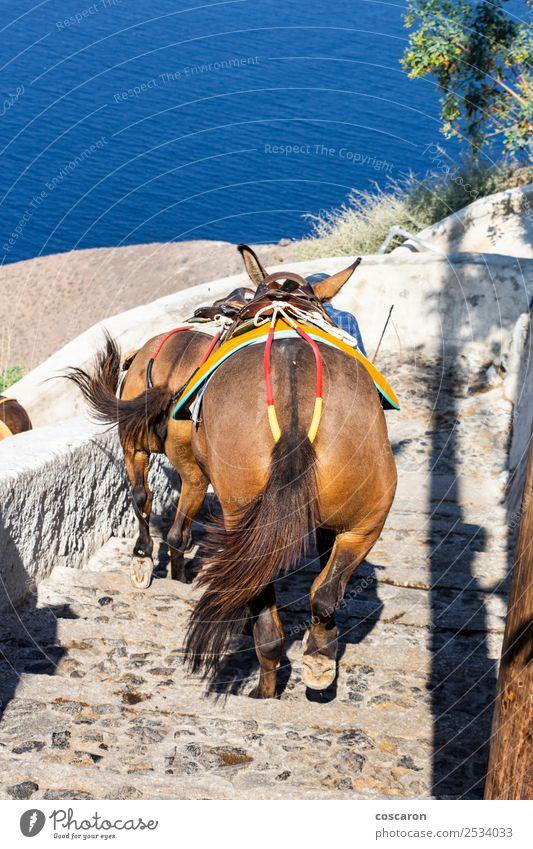 Esel, die die Treppe hinunterkommen in Thira, Santorini, Griechenland. Ferien & Urlaub & Reisen Tourismus Sommer Meer Insel Berge u. Gebirge Haus Kultur