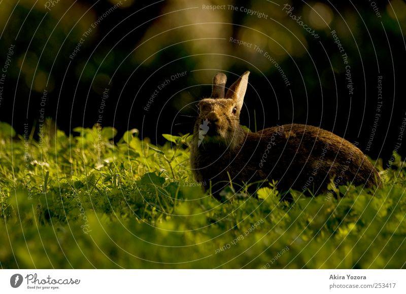 Sonne haschen Natur Gras Wiese Tier Haustier Wildtier 1 genießen braun grün schwarz Hase & Kaninchen Farbfoto Außenaufnahme Menschenleer Textfreiraum links