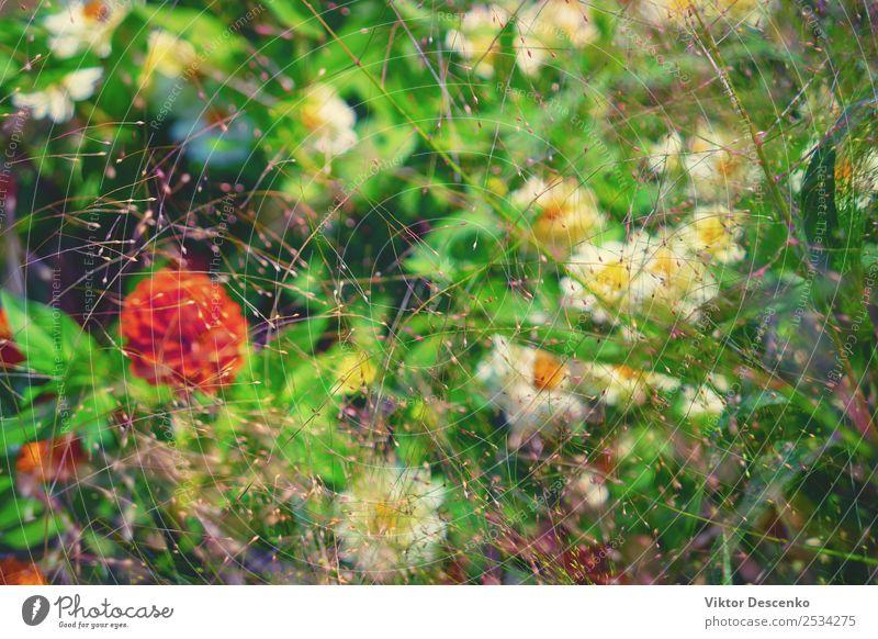 Hintergrund verschiedener Sommerblumen schön Sonne Garten Dekoration & Verzierung Hochzeit Geburtstag Gartenarbeit Natur Pflanze Blume Gras Blatt Blüte