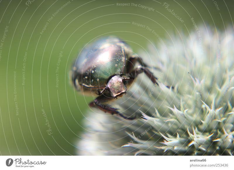Sabbernder Rosenkäfer Natur Pflanze Tier Blume Blüte Wildpflanze Kugeldistel Käfer Tiergesicht 1 Fressen glänzend grün mehrfarbig Außenaufnahme Makroaufnahme