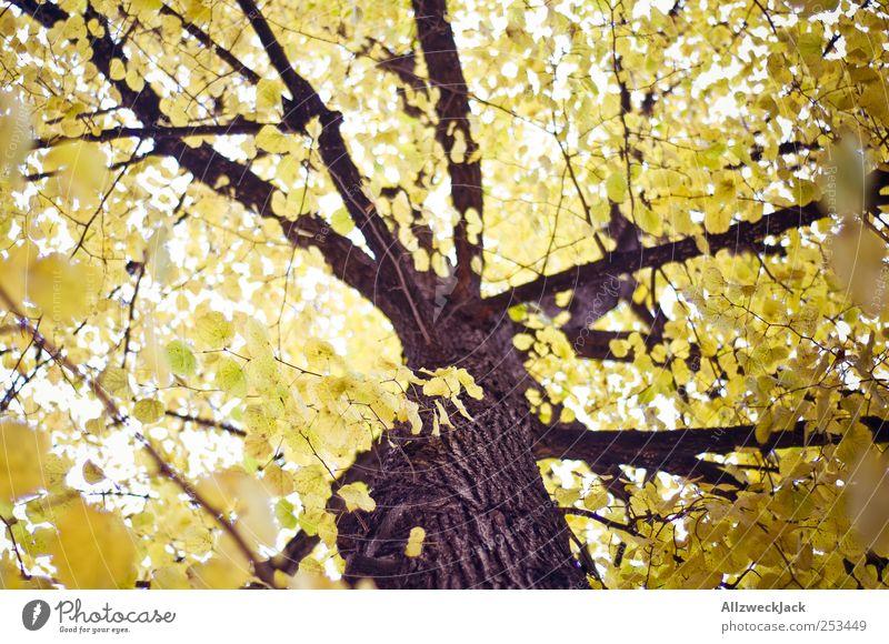 Goldlaub Natur Baum Blatt Wald ästhetisch gelb gold Herbst Baumstamm Farbfoto Außenaufnahme Menschenleer Tag Licht Unschärfe