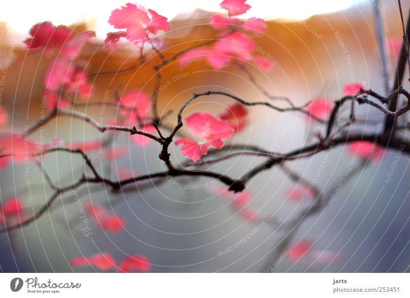 baum Natur schön Baum Pflanze rot Blatt ruhig Leben Herbst Garten träumen Park rosa frisch natürlich außergewöhnlich