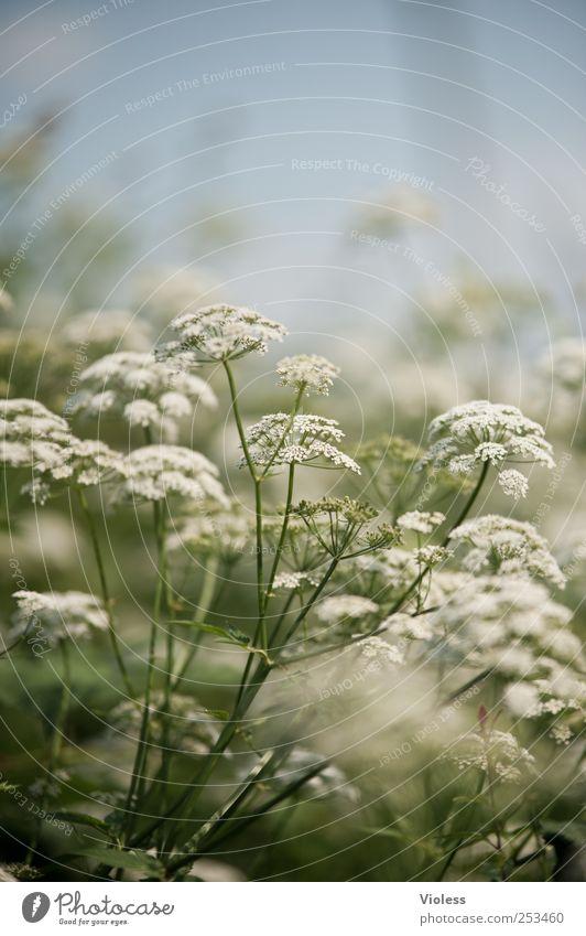 wer hat den bär geklaut? Natur Pflanze Blühend Heracleum Bärenklau Doldenblütler Gift Farbfoto Schwache Tiefenschärfe