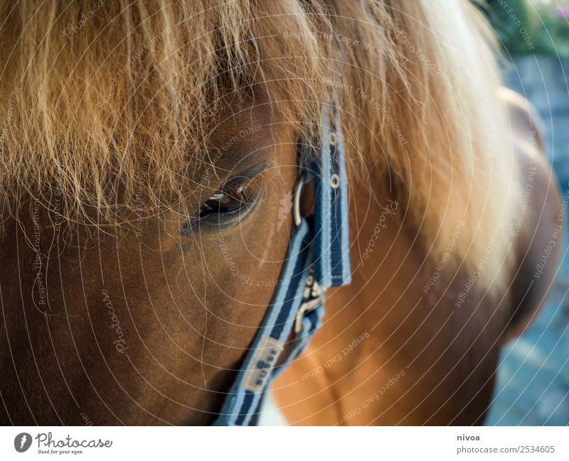 Isländer Pferd Profil Glück harmonisch Zufriedenheit Erholung Freizeit & Hobby Reiten Ferien & Urlaub & Reisen Abenteuer Freiheit Sport Umwelt Natur Landschaft