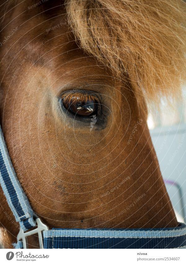 Isländer Pferd Detail Profil Erholung Freizeit & Hobby Reiten Sport Umwelt Natur Island Tier Nutztier Pony 1 Halfter Mähne Fell berühren Kommunizieren