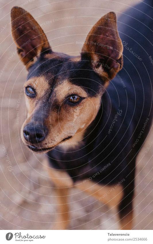 Kleiner Hund Natur Tier Haustier 1 dünn Freundlichkeit klein braun schwarz Pinscher Farbfoto mehrfarbig Außenaufnahme Nahaufnahme Menschenleer Morgen Licht