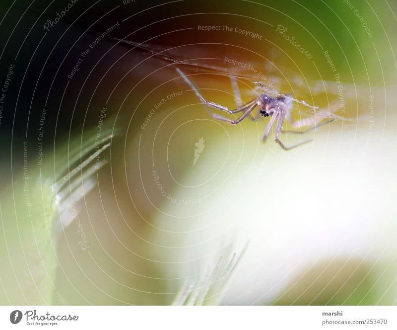 das Monster schlägt zu Natur Pflanze Tier Spinne 1 klein Venusfliegenfalle stachelig bissig Spinnennetz Appetit & Hunger Spinnenbeine Farbfoto Innenaufnahme