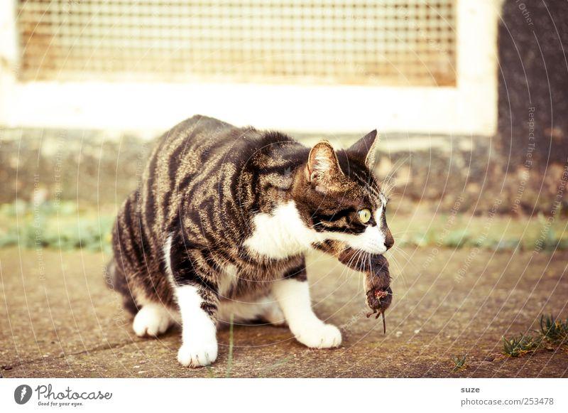 Hab dich Tier Haustier Katze Maus 1 fangen Fressen sitzen warten Tod Beute Maul Katzenfutter Jagd Hauskatze Farbfoto mehrfarbig Außenaufnahme Nahaufnahme