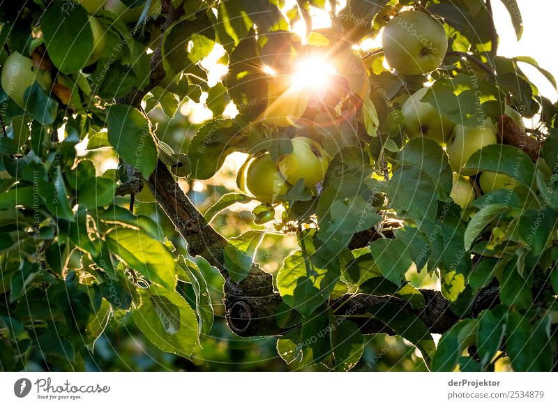 Apfelbaum im Gegenlicht Ferien & Urlaub & Reisen Tourismus Ausflug Sightseeing Städtereise Expedition wandern Umwelt Natur Pflanze Tier Sommer Schönes Wetter