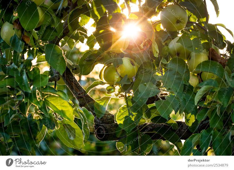 Apfelbaum im Gegenlicht Natur Ferien & Urlaub & Reisen Sommer Pflanze grün Baum Erholung Tier Freude Umwelt Berlin Glück Tourismus Ausflug wandern Park