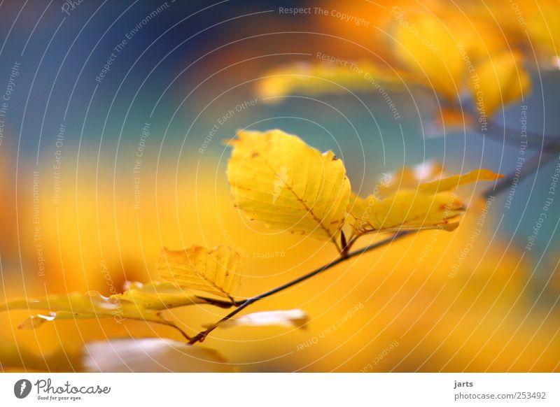 blattgold Natur schön Baum Pflanze Blatt ruhig Landschaft Herbst hell Zufriedenheit gold natürlich leuchten Idylle Schönes Wetter Freundlichkeit