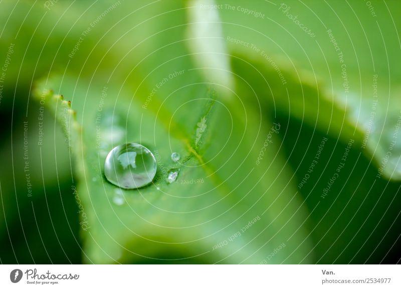 Der Drops ist gelutscht IV Natur Pflanze Wassertropfen Sommer Regen Blatt Grünpflanze Garten frisch nass grün Farbfoto mehrfarbig Außenaufnahme Nahaufnahme