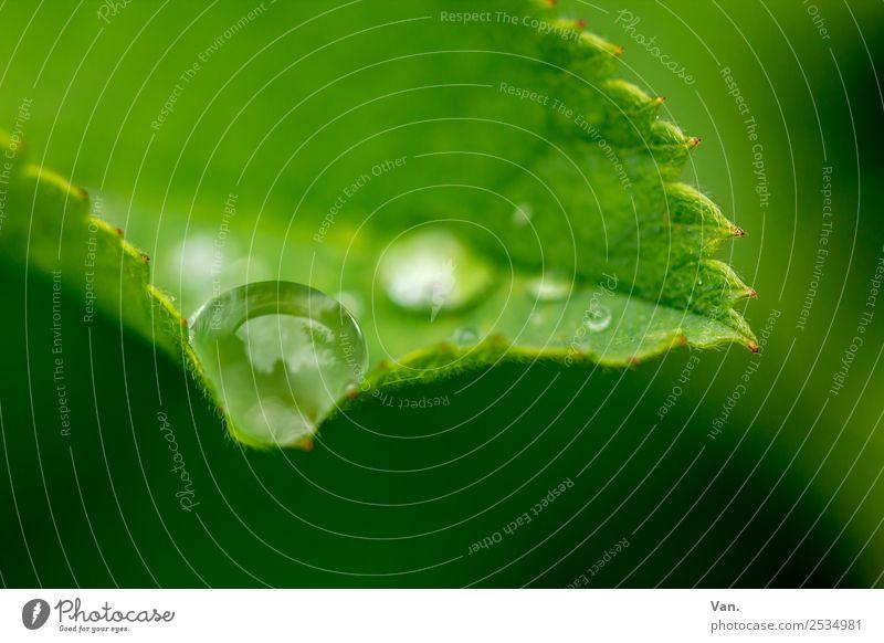 Der Drops ist gelutscht V Natur Pflanze Wassertropfen Sommer Regen Blatt Grünpflanze Garten frisch nass natürlich grün Farbfoto Außenaufnahme Nahaufnahme