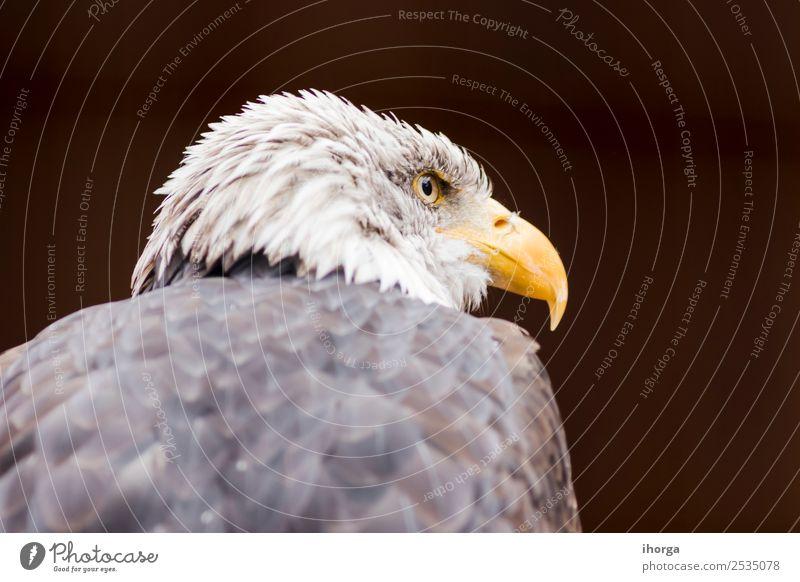 Porträt eines Weißkopfseeadlers (Haliaeetus leucocephalus) Gesicht Freiheit Natur Tier Glatze Wildtier Vogel Tiergesicht Flügel 1 wild braun gelb schwarz weiß