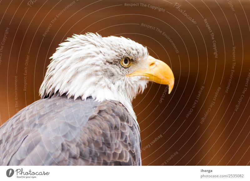 Porträt eines Weißkopfseeadlers (Haliaeetus leucocephalus) Gesicht Freiheit Natur Tier Glatze Wildtier Vogel Flügel 1 wild braun gelb schwarz weiß Amerikaner
