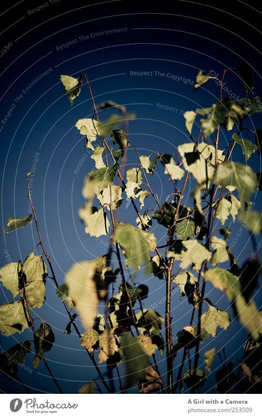 when calmness takes over Umwelt Natur Pflanze Himmel Wolkenloser Himmel Sonnenlicht Herbst Schönes Wetter Sträucher Blatt alt leuchten dehydrieren trocken wild