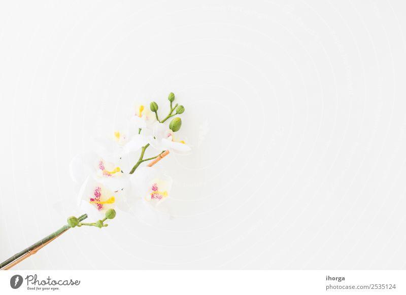 Weiße Orchidee isoliert auf weißem Hintergrund elegant exotisch schön Sommer Dekoration & Verzierung Feste & Feiern Hochzeit Natur Pflanze Blume Blüte