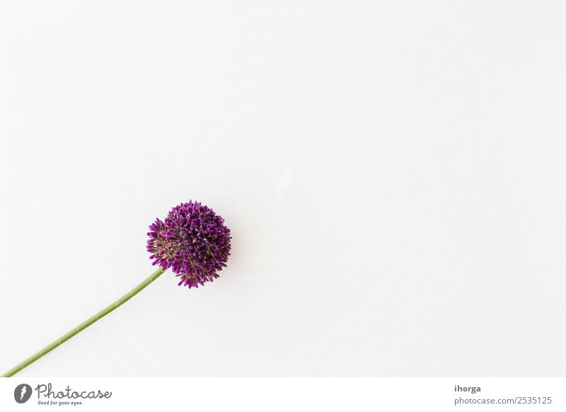 Allium isoliert auf weißem Hintergrund Gemüse Kräuter & Gewürze elegant schön Sommer Garten Dekoration & Verzierung Valentinstag Muttertag Natur Pflanze Blume