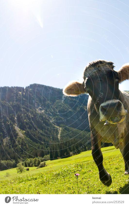 Ein bißchen verrückt Berge u. Gebirge wandern Umwelt Natur Landschaft Pflanze Tier Himmel Schönes Wetter Baum Gras Grünpflanze Wiese Hügel Alpen Nutztier