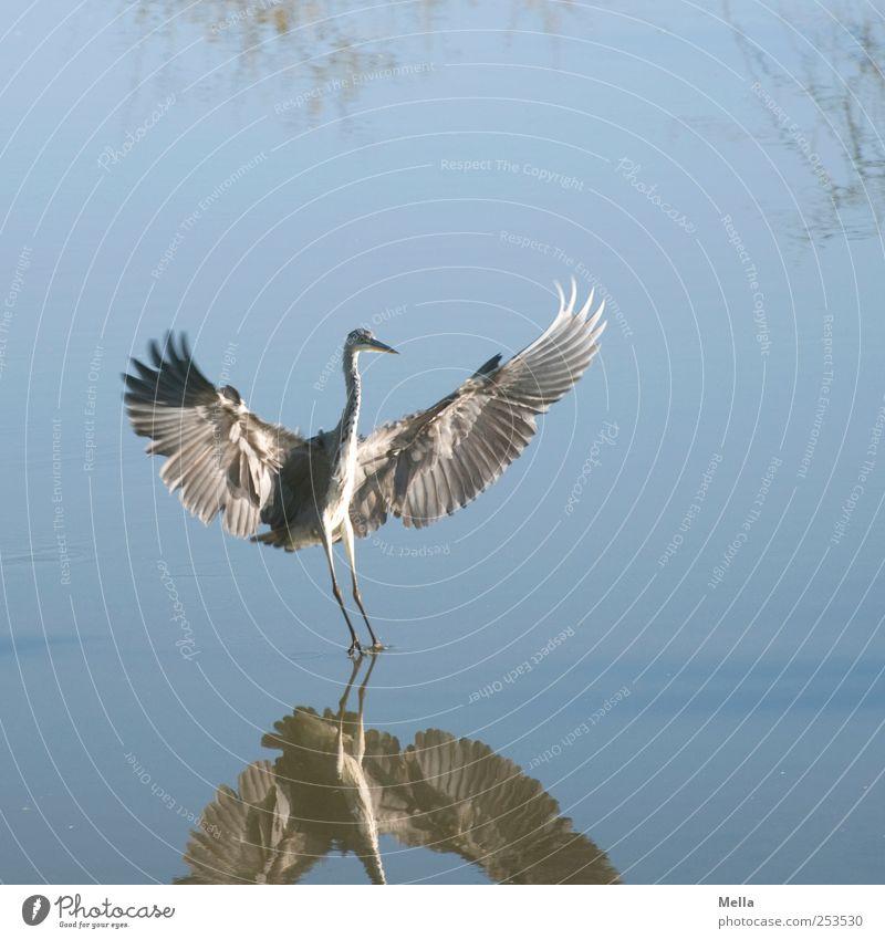 Komm in meine Arme! Umwelt Natur Tier Wasser Teich See Vogel Flügel Reiher Graureiher Feder gefiedert 1 fliegen stehen elegant frei natürlich blau Freiheit