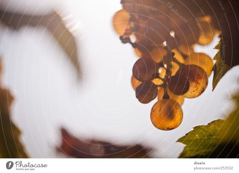 Ja der Riesling... Pflanze Blatt Herbst Feld Wachstum süß Wein Landwirtschaft lecker saftig Sekt Forstwirtschaft Weintrauben Champagner Beeren Nutzpflanze