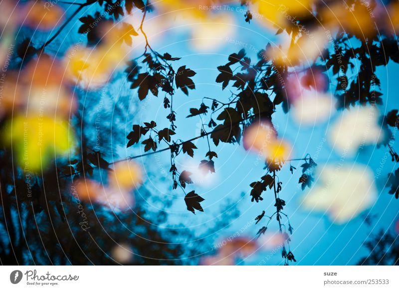 In between dreams Herbst Blatt leuchten außergewöhnlich schön blau Herbstlaub Ahornblatt Herbstbeginn herbstlich Herbstfärbung träumen Wasseroberfläche See