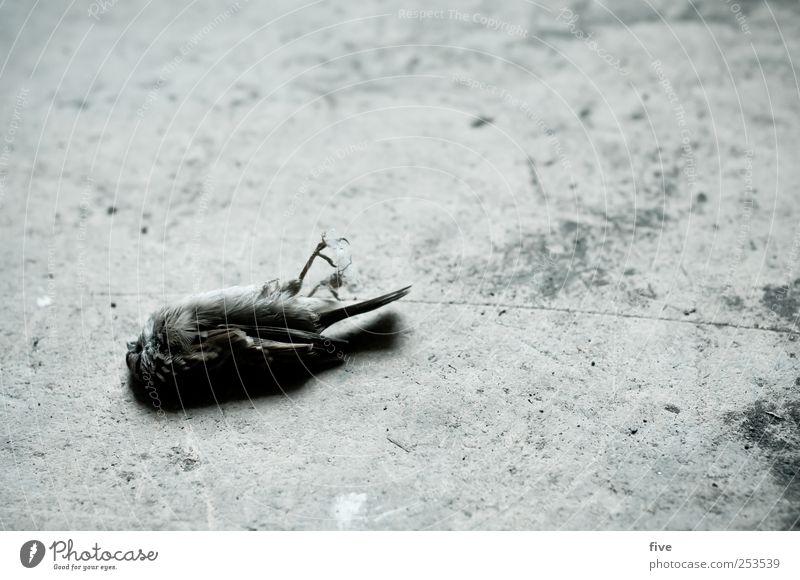 - Natur Tier Totes Tier Vogel 1 alt Traurigkeit Trauer Tod liegen Farbfoto Innenaufnahme Tag Blick nach unten