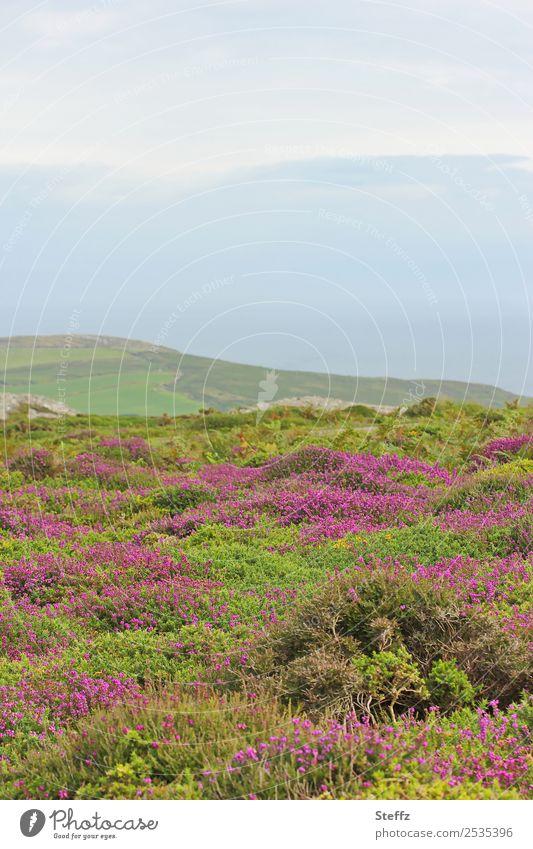 Heidelandschaft in Wales Umwelt Natur Landschaft Pflanze Himmel Sommer Gras Sträucher Wildpflanze Heidekrautgewächse Bergheide Hügel Großbritannien Nordeuropa