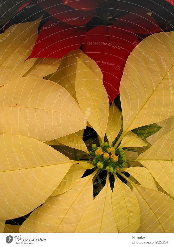 Nochebuena Blumen Natur Makroaufnahme Mexiko Flowers Weihnachten & Advent