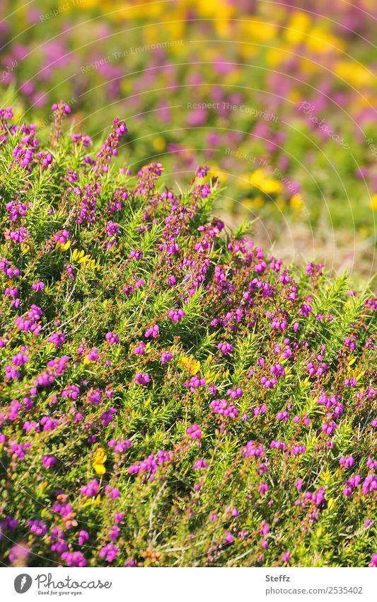 Blühende Heide Natur Sommer Pflanze schön grün Landschaft Erholung gelb Umwelt wandern Wachstum Schönes Wetter Sträucher violett sommerlich