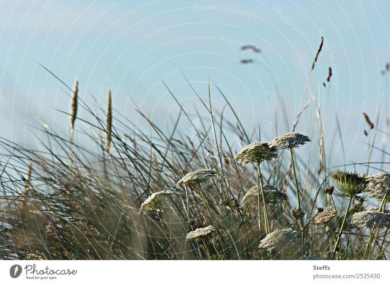 Gräser im Wind Umwelt Natur Pflanze Sommer Gras Wildpflanze Gewöhnliche Schafgarbe Küste Republik Irland Nordeuropa Wachstum natürlich schön blau grün
