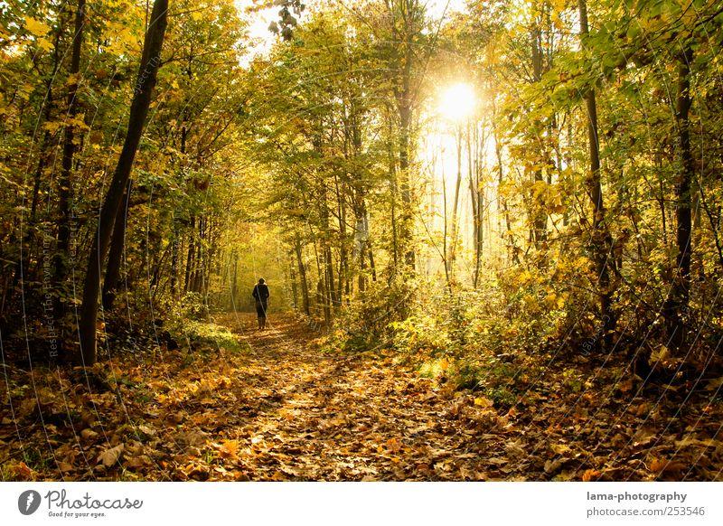 Goldener Herbst Mensch Baum Sonne Blatt gelb Herbst gold Spaziergang Herbstlaub Wald gehen Morgen Laubwald Herbstwald