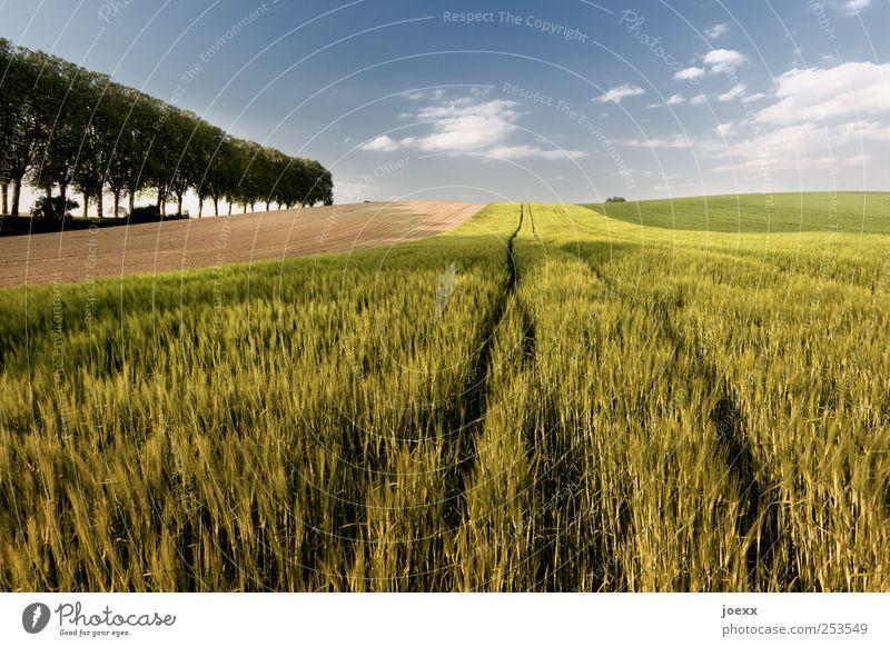 Wachstum Himmel blau grün Baum Sommer Wolken Umwelt Landschaft Feld Horizont Landwirtschaft Schönes Wetter Ackerbau Forstwirtschaft Getreidefeld Nutzpflanze
