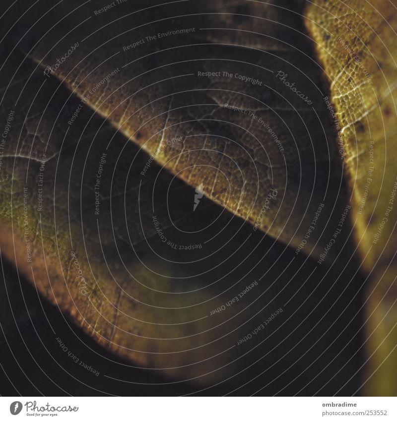 Herbstmakro I Umwelt Natur Pflanze Urelemente Klima Wetter Dürre Blatt Garten Park braun gelb gold grün Vergänglichkeit Lebenslinie Farbfoto Gedeckte Farben