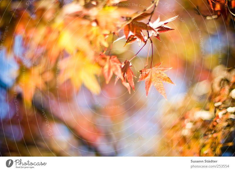 B@DD 11 | gold Natur Sonne Herbst Schönes Wetter Baum Blatt Grünpflanze Garten leuchten rosa Beleuchtung Herbstfärbung mehrfarbig Warmes Licht Warme Farbe Ast