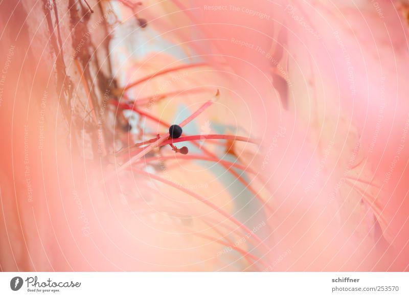 Böbbel für Mädchen Pflanze rosa lachsfarben orange zart zerbrechlich leicht filigran Blatt Blätterdach Wilder Wein Stengel Beeren Beerensträucher