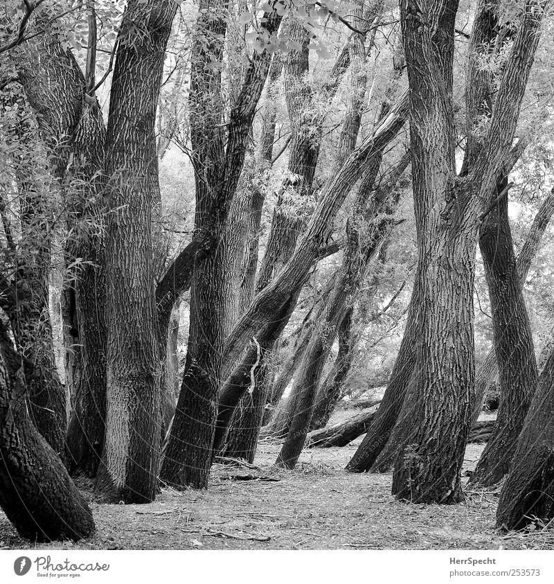 Im Auwald Umwelt Natur Landschaft Pflanze Baum Wald alt Flußauen Laubbaum Baumstamm Ast durcheinander Schwarzweißfoto Außenaufnahme Starke Tiefenschärfe